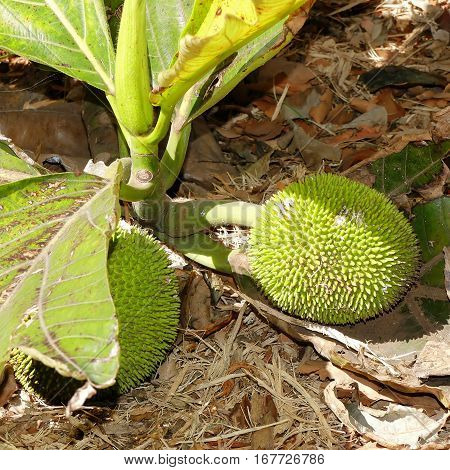 Breadfruit-flowering tree in the mulberry and Jackfruit family (Moraceae) originating in the South Pacific