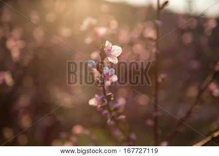 Blossom Tree Over Nature Background. Spring Flowers. Spring Background