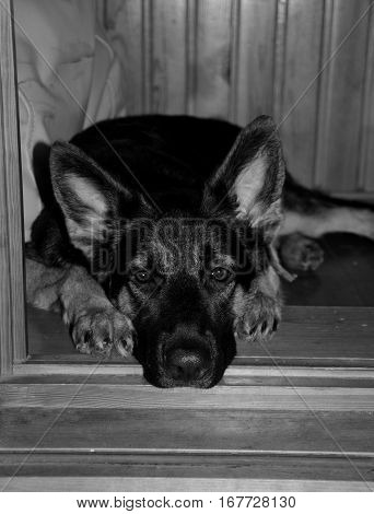 Sad German shepherd puppy lying in the doorway and waiting for its owner (selective focus on the eyes) in black and white vintage style