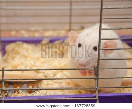 Cute frightened rat in a cage (shallow DOF selective focus on the rat nose)