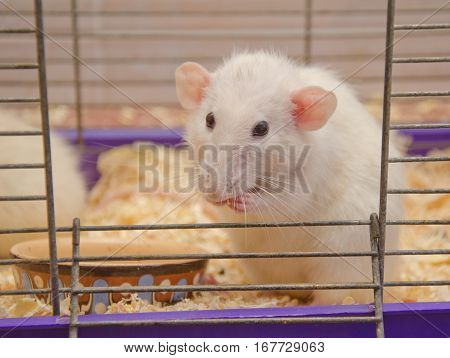Cute funny big-eared rat in a cage (shallow DOF selective focus on the rat nose and eyes)