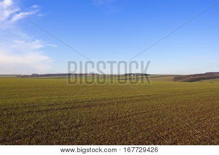 Wheat Crops In Winter
