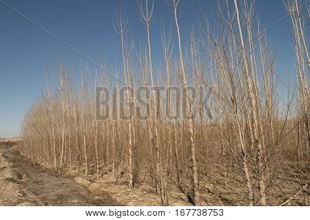 Natural beautiful poplar trees in the forest with blue sky