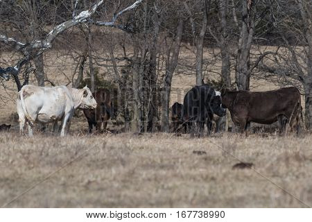 Herd of cows in a barren field under trees.