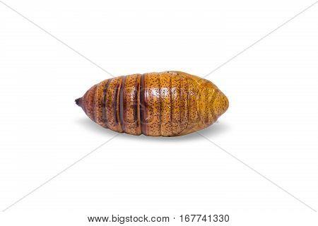 Cricula Silkmoth Pupa
