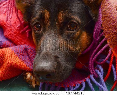 German shepherd dog under a cozy plaid blanket (selective focus on the dog eyes)