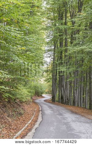 Curvy asphalt road, between long green trees, surrounded with fallen brown leafs