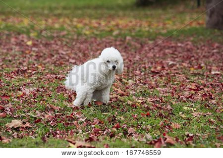 The white dog pooping in the park