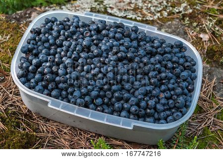 Transparent container with berries blueberries on a stone covered with moss and dry pine needles.