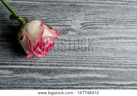 Beautiful dry rose against an aged gray wooden background with copy space for your text