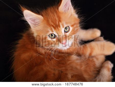 Big Beautiful Cat Eyes. Closeup. Red Solid Maine Coon Kitten With Beautiful Brushes On The Ears On B