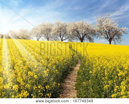 Rapeseed canola or colza field with parhway and alley of flowering cherry trees and sun - Brassica Napus - plant for green energy and oil industry