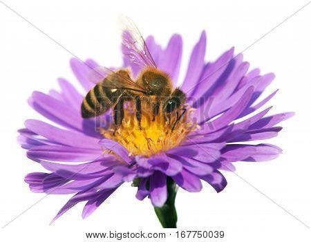 detail of bee or honeybee in Latin Apis Mellifera european or western honey bee sitting on the violet flower isolated on white background golden honeybee on flower