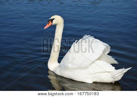 Mute swan (Cygnus olor) on the water.