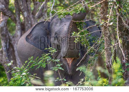Sri Lanka: wild lankan elephant in jungle of Yala National Park