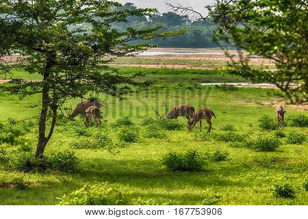 Group of Sri Lankan Axis Spotted Deer in Yala National Park