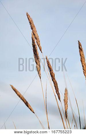 wheat grains with blue sky, weizeen, himmel
