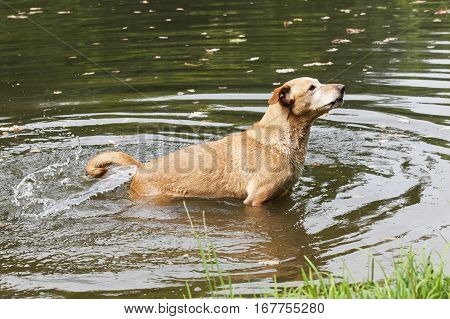 Brown dog in the wavy water shaking with its tail.