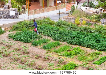 Bali Greece - April 30 2016: Man watering garden with potatoes onions and other vegetables from portable farm sprinkler. Gardening on own household plot. Resort village Bali Rethymno