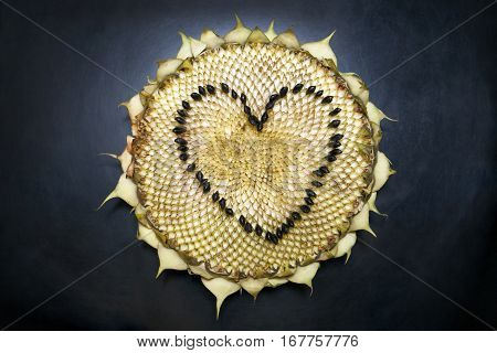 Sunflower head on a black background. Heart shape made from the seeds.