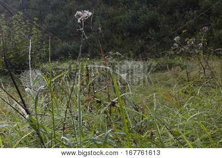 Meadow on a foggy autumn morning. Dewy spiderwebs.