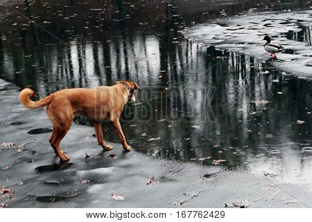 Brown dog on a frozen lake watching a duck on the other side. A rainy late autumn day. The beginning of winter.