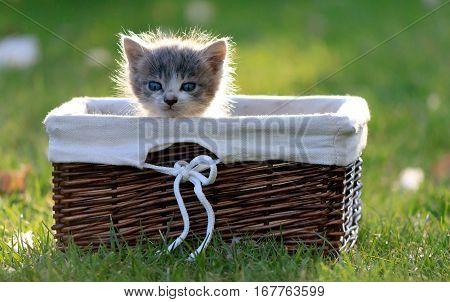 Lone kitten sitting in wooden basket on green grass