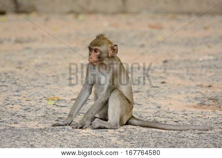 beautiful long-tailed macaque (Macaca fascicularis) on ground