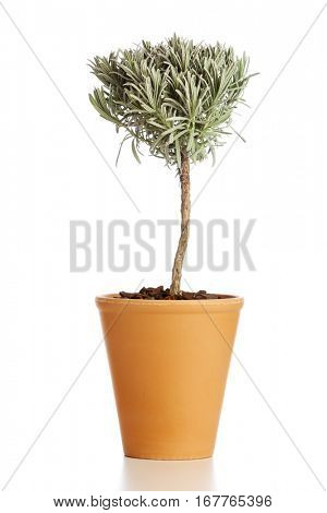 Food ingredient herb. Tree shaped lavender plant in flower pot isolated on white background
