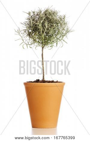 Food ingredient herb. Tree shaped curry plant in flower pot isolated on white background