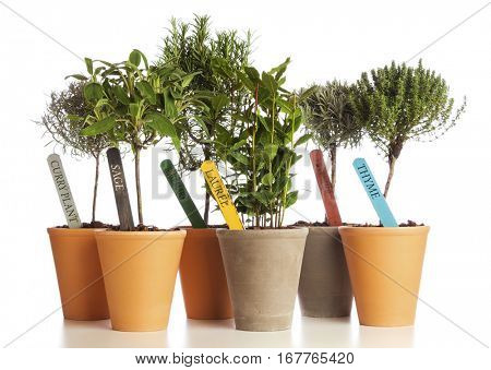 Selection of herbs used in Mediterranean cuisine planted in flower pots with name tags isolated on white background.