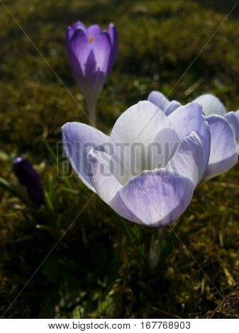 The light purple white crocus. Three purple crocuses in the grass on the garden. The sunny day with clear blue sky. Spring nature. First flowers in spring