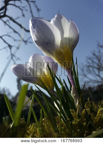 The white crocus. Two white crocuses in the grass on the garden. The sunny day with clear blue sky. Spring nature. First flowers in spring