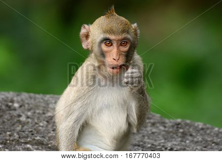 beautiful long-tailed macaque (Macaca fascicularis) on rock hill