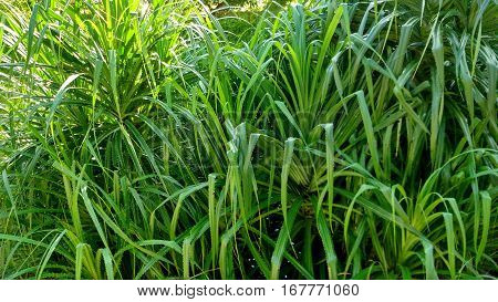 Clump of leaves, Clump of Tropical plant