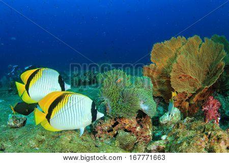 Coral reef underwater. Pair Lined Butterflyfish