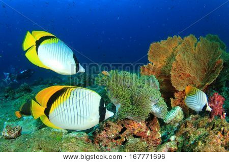 Coral reef underwater. Pair Lined Butterflyfish