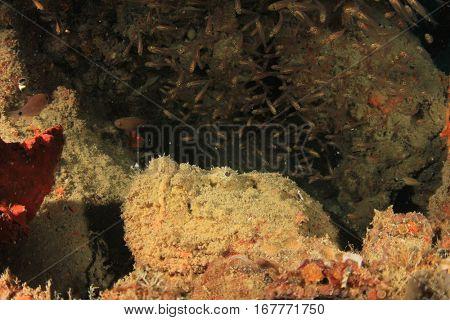 Stonefish stone fish scorpionfish