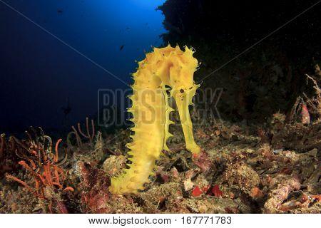 Yellow Thorny Seahorse. Sea Horse
