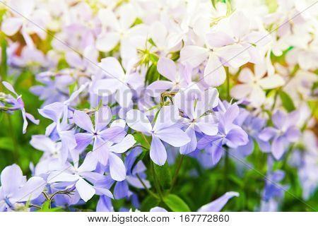 Flowers Background Photo. Phlox Divaricata