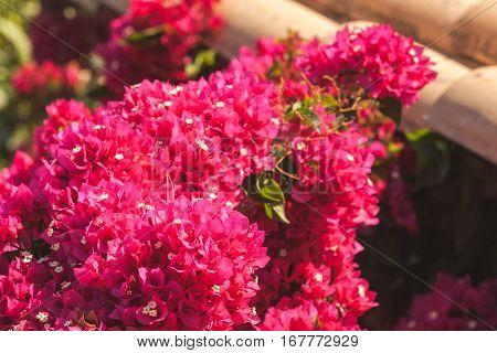 Red Decorative Flowers In Summer Garden