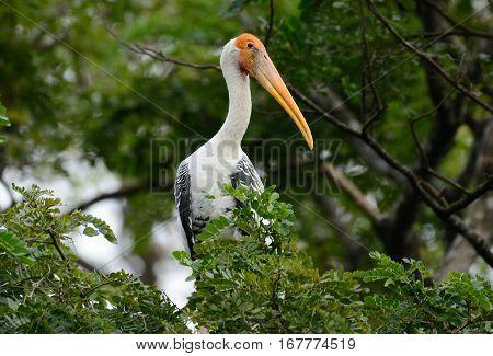 breeding colony of Painted Stork (Mycteria leucocephala) in Thai forest