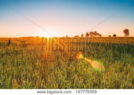 Natural Sunset Sunrise Over Spring Wheat Field. Sun Shine Over Green Meadow. Countryside Landscape Under Evening Or Morning Sky At Dawn. Skyline, Horizon. Warm Colours. Natural Lens Flare Effect