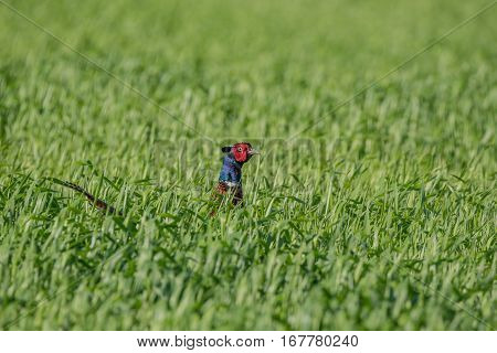 Common pheasant or Phasianus colchicus hiding from green spring grass