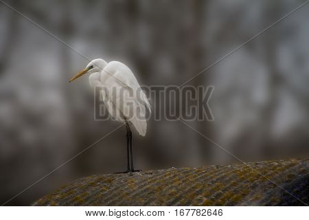 Egret on a blurred background in the wild