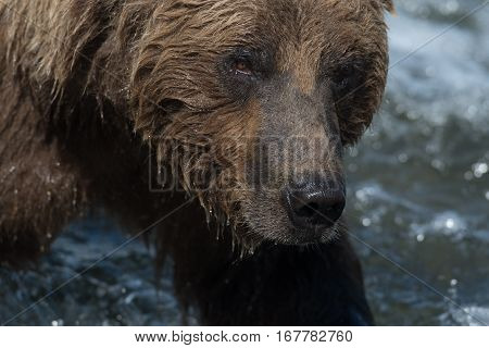 Face Of Alaskan Brown Bear