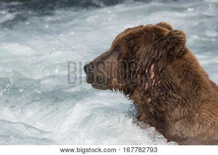 Large Alaskan Brown Bear In Rapids