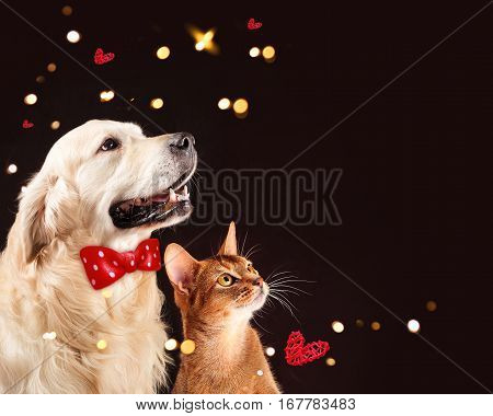 Cat and dog, abyssinian kitten and golden retriever looks at right. Happy Valentine's Day theme