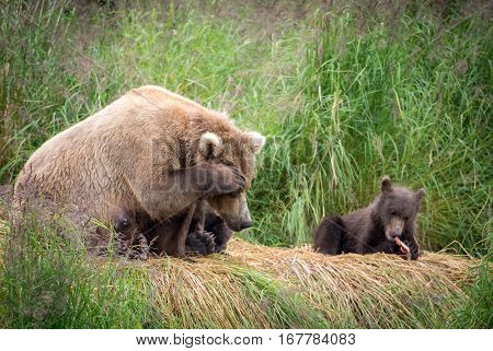 Alaskan Brown Bear Sow With Cubs
