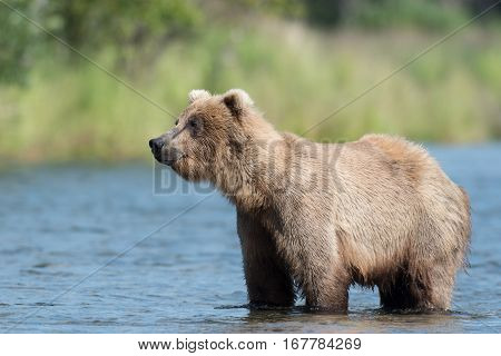 Alaskan Brown Bear In Brooks River